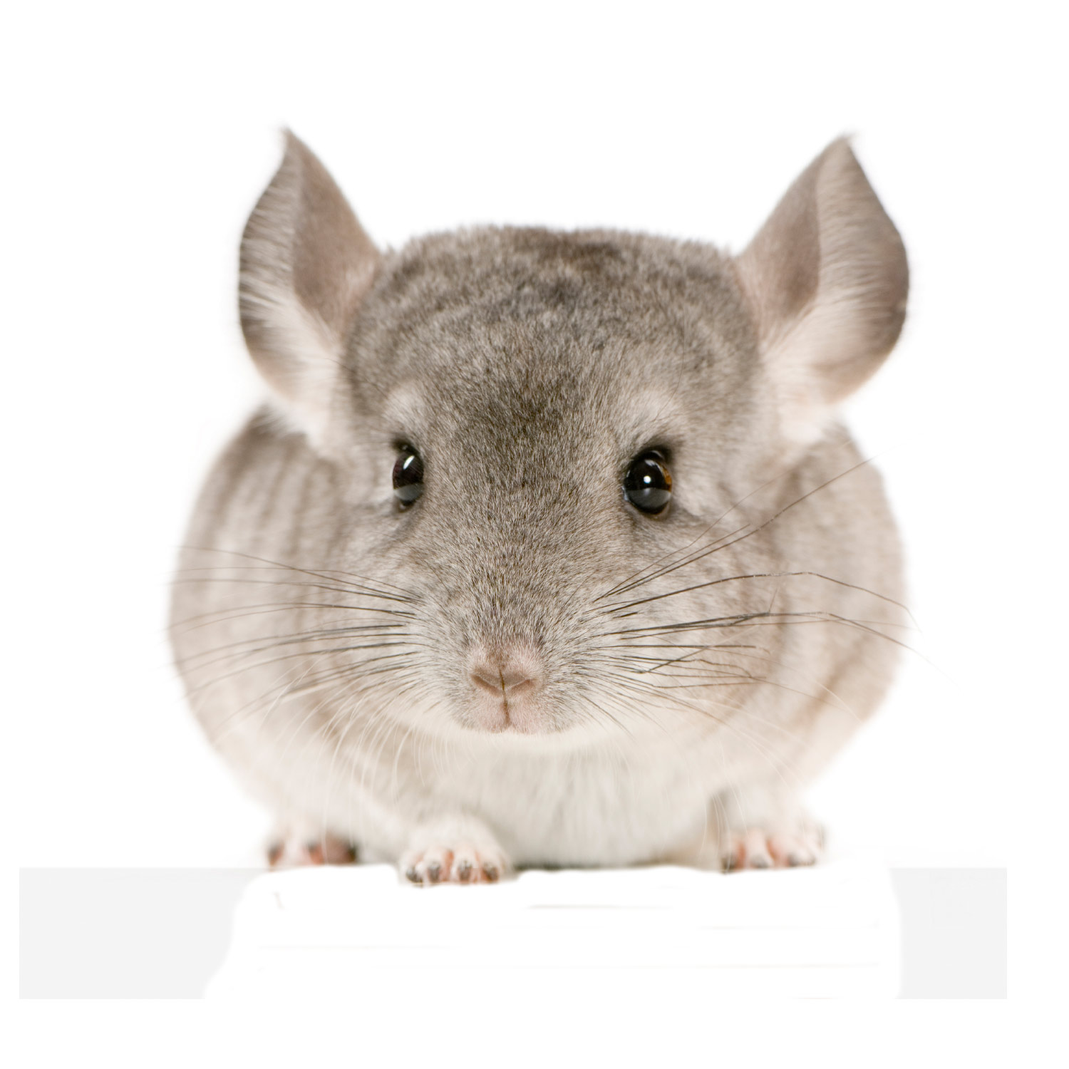 Chinchilla & Degu